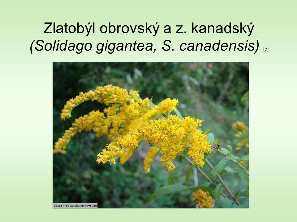 Zlatobýl obrovský a z. kanadský (Solidago gigantea, S. canadensis) [5]